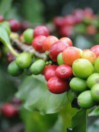 indonesian specialty coffees Kopi dua koffie plantage origineel indonesische koffie